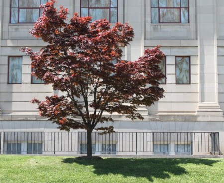 Tree outside First Baptist Church, Knoxville, Spring 2013