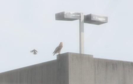 Hawk as seen through my condo window, Knoxville, Summer 2013