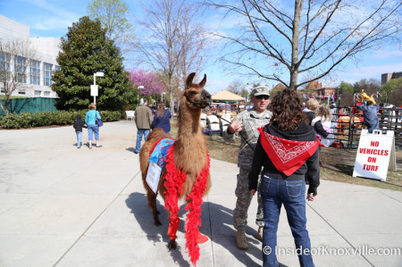 Great Llama Race, World's Fair Park, Knoxville, April 2014