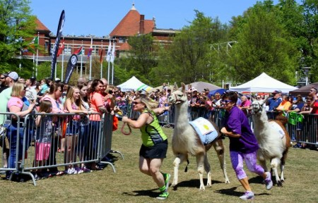 Great Llama Race, World's Fair Park, April 2015 (Photo by Heidi Hornick)