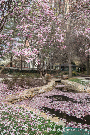Japanese Magnolia, Krutch Park, Knoxville, March 2016