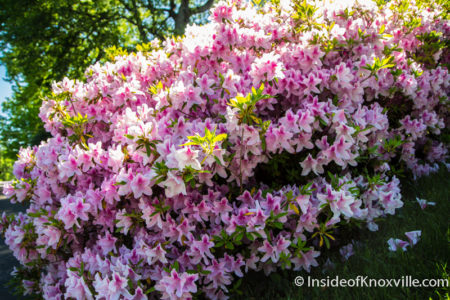 Azaleas Along the Way, Fourth and Gill Home Tour, Knoxville, April 2016