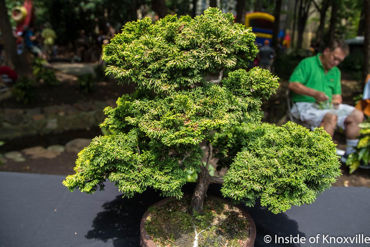 Bonsai Trees In Knoxville Tn Bonsai Tree